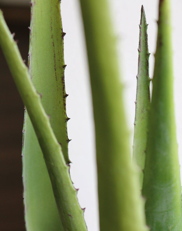 Künstliche Aloe, getopft, 50 cm, grün