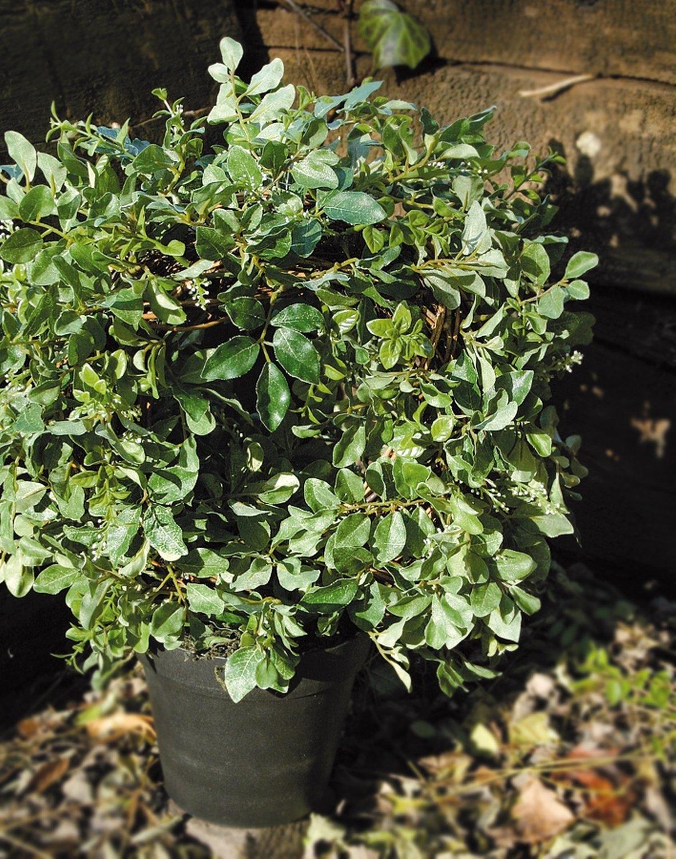 Künstlicher Buchsbaumkranz, getopft, 34 cm, grün