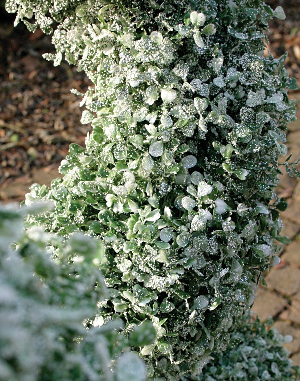 Künstliche Buchsbaumspirale mit Schnee / Glitter aus Kunststoff, getopft, 120 cm, frost-grün