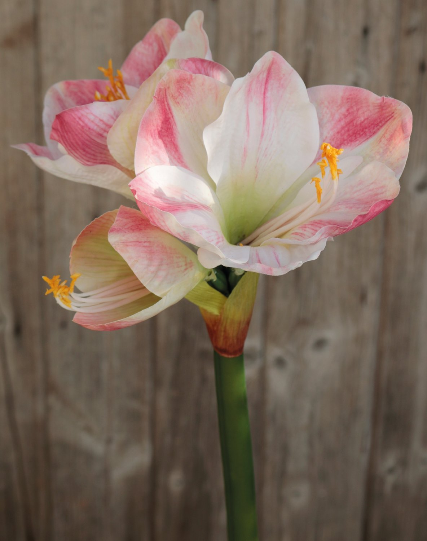 Künstliche Amaryllis, 66 cm, creme-rosa