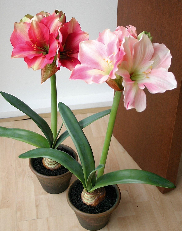 Künstliche Amaryllis, getopft, 65 cm, hellrosa-dunkelrosa
