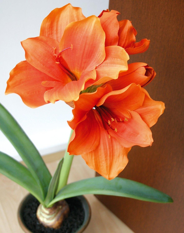 Künstliche Amaryllis, getopft, 65 cm, orange